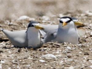 South Bay Salt Ponds: Least Tern Habitat Enhancement Event @ Eden Landing Ecological Reserve